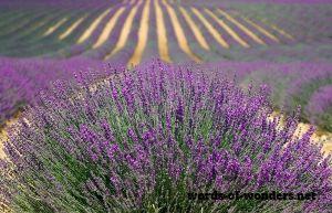 words wonders lavander fields